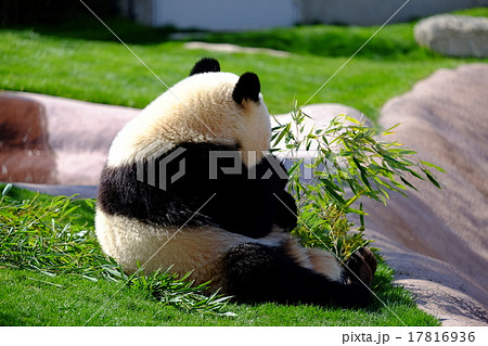 パンダの後ろ姿 17816936