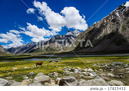Beautiful yellow flower field, cow with blue sky