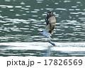 ミサゴの狩り 17826569