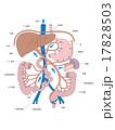 血流 門脈 肝臓のイラスト 17828503