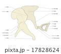 ツチ、キヌタ、アブミ骨(テキスト) 17828624