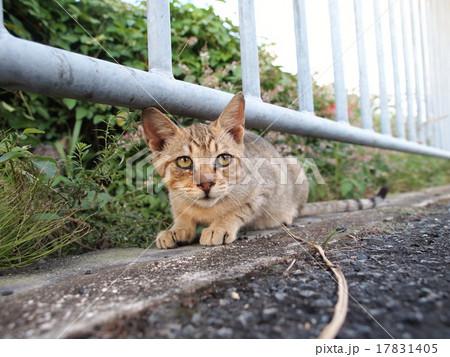 柵をくぐる猫 17831405