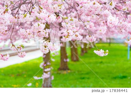 Spring sacura trees