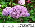紫陽花 17850738