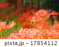 花 植物 彼岸花の写真 17854112