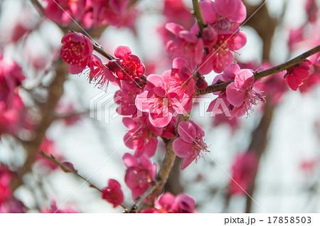 濃いピンクの梅の花 17858503