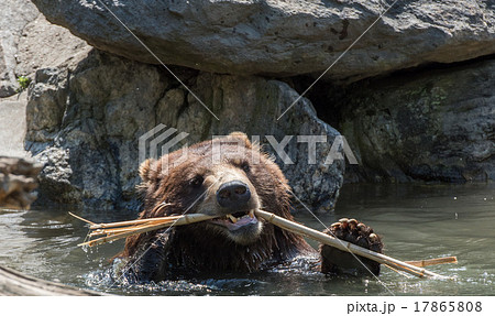bear brown grizzly playing in the water