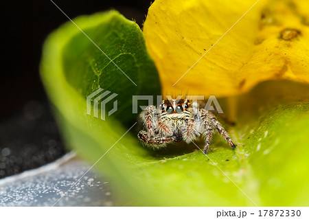 jumper spider on green leaf