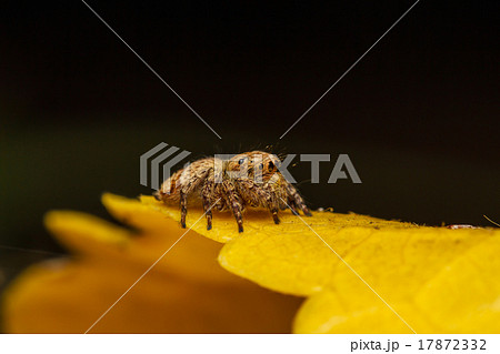 jumper spider on yello leaf