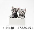 子猫 鉢 アメリカンショートヘアーの写真 17880151