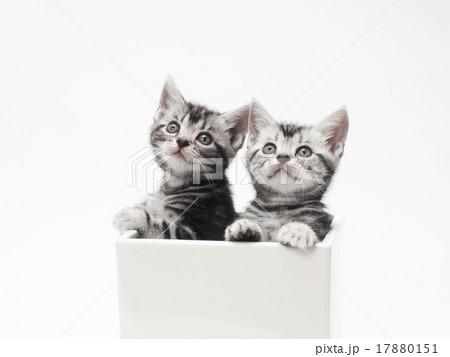鉢カバーに入った2匹のアメリカンショートヘアーの子猫 17880151