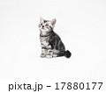 1匹のアメリカンショートヘアーの子猫 17880177