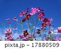 コスモス 秋桜 花の写真 17880509