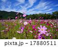 コスモス 秋桜 咲くの写真 17880511