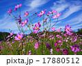 コスモス 秋桜 花の写真 17880512