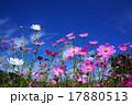 コスモス 秋桜 花の写真 17880513