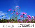 コスモス 秋桜 花の写真 17880514