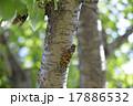 蝉 虫 昆虫の写真 17886532