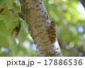 蝉 虫 昆虫の写真 17886536