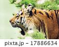 タイガー トラ 虎の写真 17886634