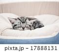 子猫 アメリカンショートヘアー 動物の写真 17888131