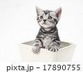 子猫 鉢 アメリカンショートヘアーの写真 17890755