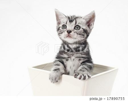 鉢から顔を出すアメリカンショートヘアーの子猫 17890755