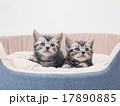 子猫 アメリカンショートヘアー 動物の写真 17890885