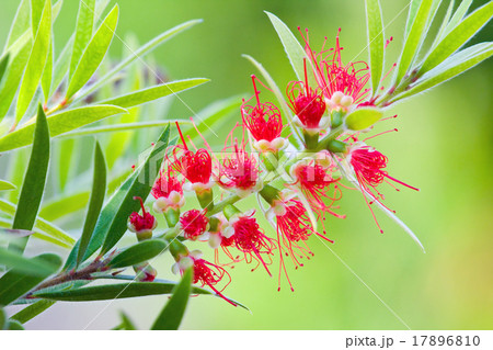 Red flower blossom, Banksia, Proteaceae