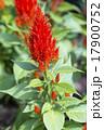 ケイトウの花 17900752