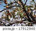 柿の木 17912940