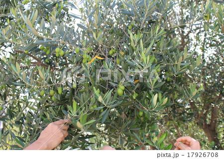 オリーブの木 17926708
