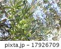 オリーブの木 17926709