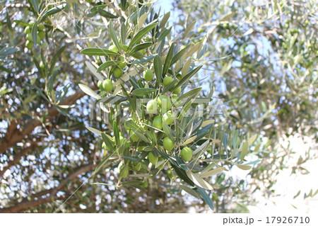 オリーブの木 17926710