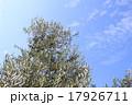 オリーブの木 17926711