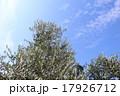オリーブの木 17926712