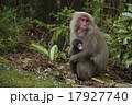 親子猿 17927740