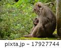 見つめあう親子猿 17927744