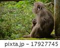 親子猿 17927745