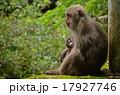 親子猿 17927746
