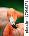 フラミンゴ 17936871