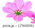 コスモス 17940091