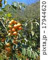 植物 柿 実の写真 17944620