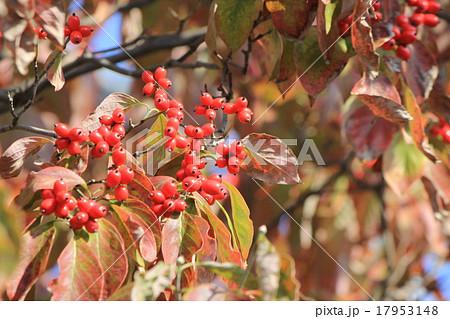 ハナミズキ 紅葉と赤い実 17953148