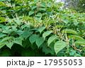 Blooming Sakhalin Knotweed 17955053