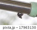 センチニクバエの交尾01 17963130