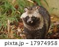 タヌキ 動物 ホンドタヌキの写真 17974958