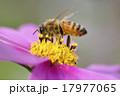 コスモス 花 蜂の写真 17977065
