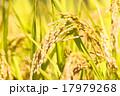 稲穂 稲 穀物の写真 17979268
