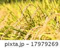 稲穂 稲 穀物の写真 17979269